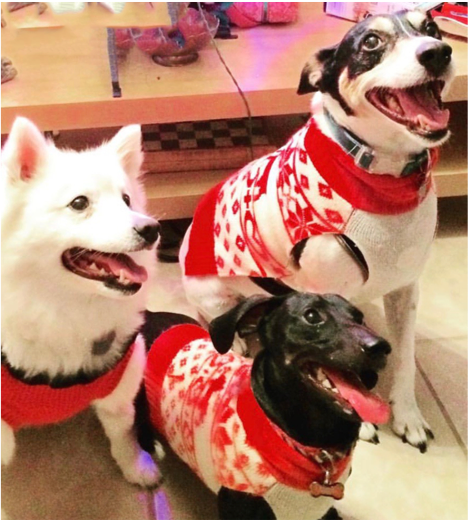 3 dogs in holidy sweaters at the Denver office