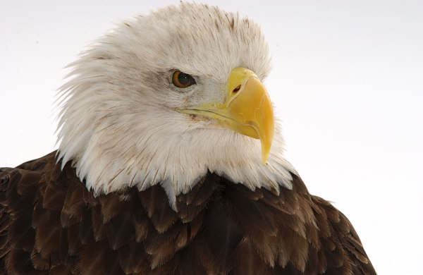 What do Bald Eagles have to do with Data sampling? Nothing. they're just awesome.
