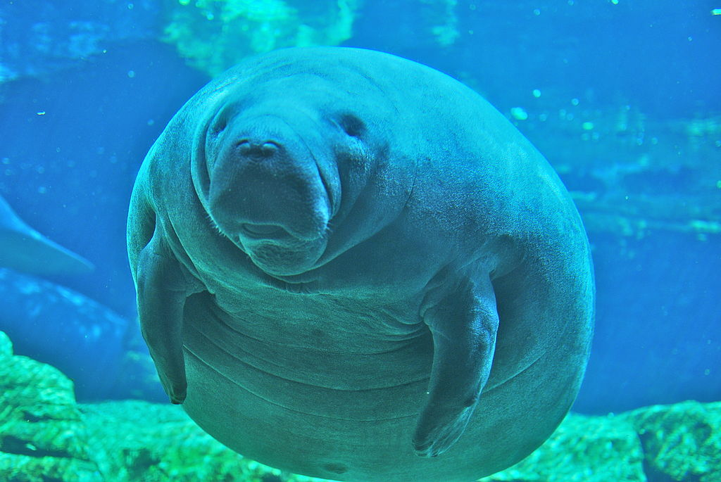 Adorable Chubby Manatee at Sea World