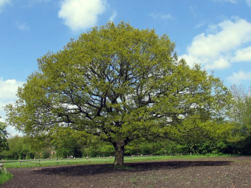 oak-1548402